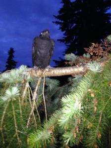 Mongo's crow
