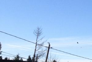 Stellar Jay in West Seattle
