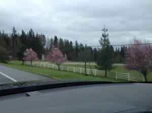 Trees in bloom in Auburn, WA